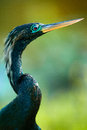 Close-up of a Anhinga Stock Image