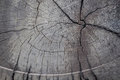 Close up annual ring tree texture and background. Royalty Free Stock Photo
