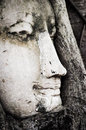 Close up antique buddha portrait in a tree at wat mahathat this is of are embracing the fine countenance of sandstone sculpture Royalty Free Stock Images