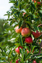Close up of an apple tree Stock Image