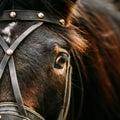 Close Up Of Arabian Bay Horse Royalty Free Stock Photo
