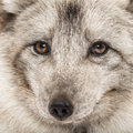 Close up of a arctic fox vulpes lagopus also known as the white polar or snow Royalty Free Stock Photography