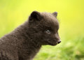 Close up of arctic fox vulpes lagopus cub iceland Royalty Free Stock Photos