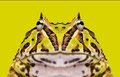 Close-up of an Argentine Horned Frog facing Stock Photo