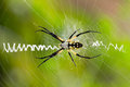 Close up of Argiope spider on web Royalty Free Stock Photo