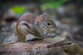 Close up of asiatic striped squirrel in nature at kaengkracharn national park thailand Stock Image