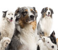Close up of a Australian Shepherd Stock Photo