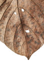 Close up of autumn dried leaf, Sear brown foliage, Macro view on texture wilted autumn leaves isolated on white background Royalty Free Stock Photo