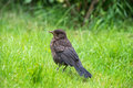Close up of a baby blackbird Royalty Free Stock Photo