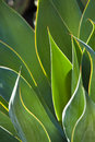 Close up of backlit century plant leaves sunlihgt shining through the a Stock Image