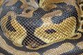 Close up Ball python snake skin Royalty Free Stock Photo
