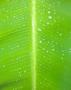 Close up of a banana tree leaf with raindrops Royalty Free Stock Photography