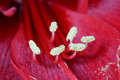 Close up of a Barbados Lily Royalty Free Stock Photo