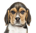 Close up of a beagle puppy looking at the camera isolated on white Royalty Free Stock Photo