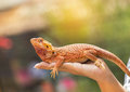 Close up bearded dragon Pogona Vitticeps  australian lizard on hand Royalty Free Stock Photo