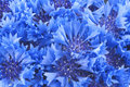 Close up of beautiful blue flower of cornflower small bouquet vivid flowers Stock Photos