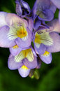 Close up of beautiful blue purple freesia flowers in a spring garden setting Stock Photos