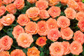 Close-up of a beautiful bouquet of orange roses Royalty Free Stock Photo