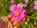 Close up of Beautiful cosmos flower.With Blurred background.Landscape of cosmos flowers.Honey bee Sitting on white Cosmos flower. Royalty Free Stock Photo