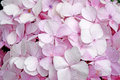 Close-up beautiful floral background pink hydrangea flowers Royalty Free Stock Photo