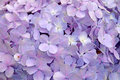 Close-up beautiful floral background Purple hydrangea flowers Royalty Free Stock Photo