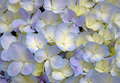 Close-up beautiful floral background Purple-yellow hydrangea flowers Royalty Free Stock Photo