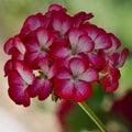 Close up beautiful flowers Bleeding heart Royalty Free Stock Photo