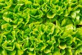 Close-up of green lettuce in garden Royalty Free Stock Photo