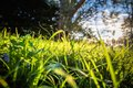 Close up of Beautiful green meadow and trees with sun back lighting Royalty Free Stock Photo