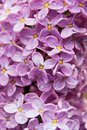 Close-up beautiful lilac flowers Royalty Free Stock Photos