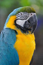 Close up beautiful macaw bird with angry eye action. Royalty Free Stock Photo