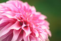 Close up of a beautiful pink dahlia flower dahlia pinnata in green background Stock Images
