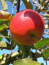 Close-up of beautiful ripe red apple on an apple tree Royalty Free Stock Photo