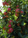 Close-up of beautiful ripe red apples on an apple tree Royalty Free Stock Photo