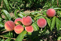 Close-up of beautiful ripe red peaches on the tree Royalty Free Stock Photo