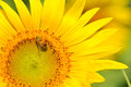 Close up beautiful sunflower little bee Stock Photography