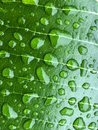 Close up beautiful water drops are on the green leaf Royalty Free Stock Photo