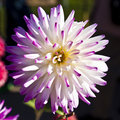 Close-up of beautiful white dahlia with purble ends Royalty Free Stock Photo