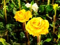 Close up of beautiful yellow rose in spring garden Royalty Free Stock Photo