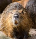 CLose up of beaver looking at the viewer Royalty Free Stock Photo