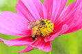 Close-up Bee and Cosmos Flower Royalty Free Stock Images