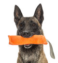 Close-up of a Belgian Shepherd holding Stock Photography