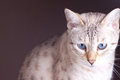Close up bengal cat car with blue eyes Royalty Free Stock Image