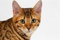 Close up bengalen cat looking in camera op wit Royalty-vrije Stock Foto