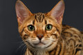 Close up bengalen cat looking in camera op zwarte Stock Foto