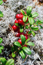 Close up berry cranberries and moss of in the forest Royalty Free Stock Photography