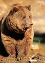 Close up big brown bear nature Royalty Free Stock Photo