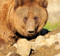 Close up big brown bear nature Royalty Free Stock Image