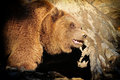 Close up big brown bear nature Royalty Free Stock Images