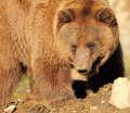 Close up big brown bear nature Stock Photography